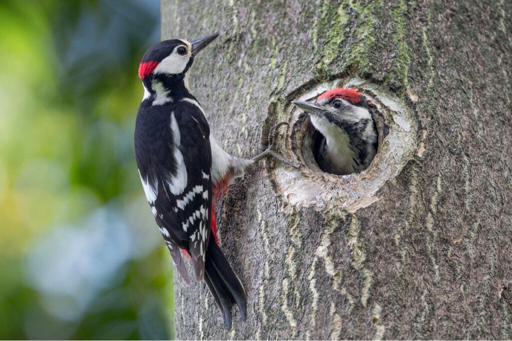 7 curiosidades de los pájaros carpinteros