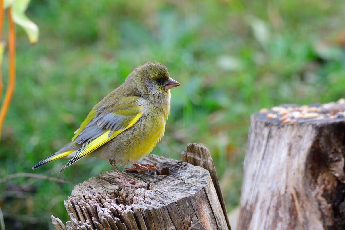 Un pájaro con tricomoniasis.