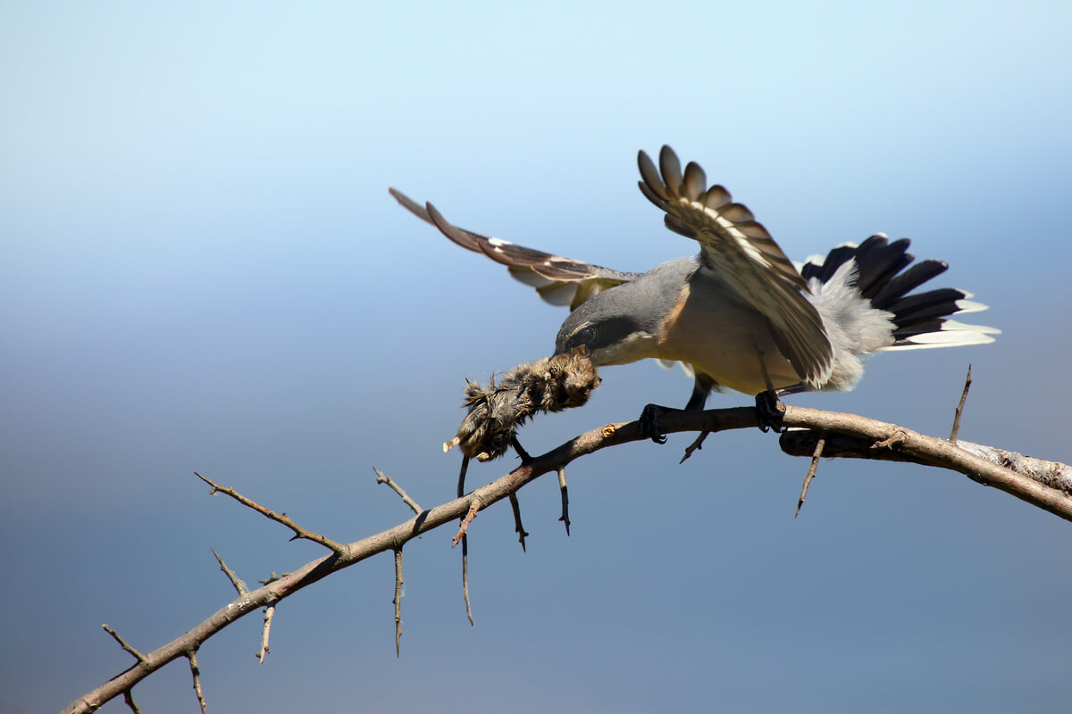 Un alcaudón empalando a su presa.