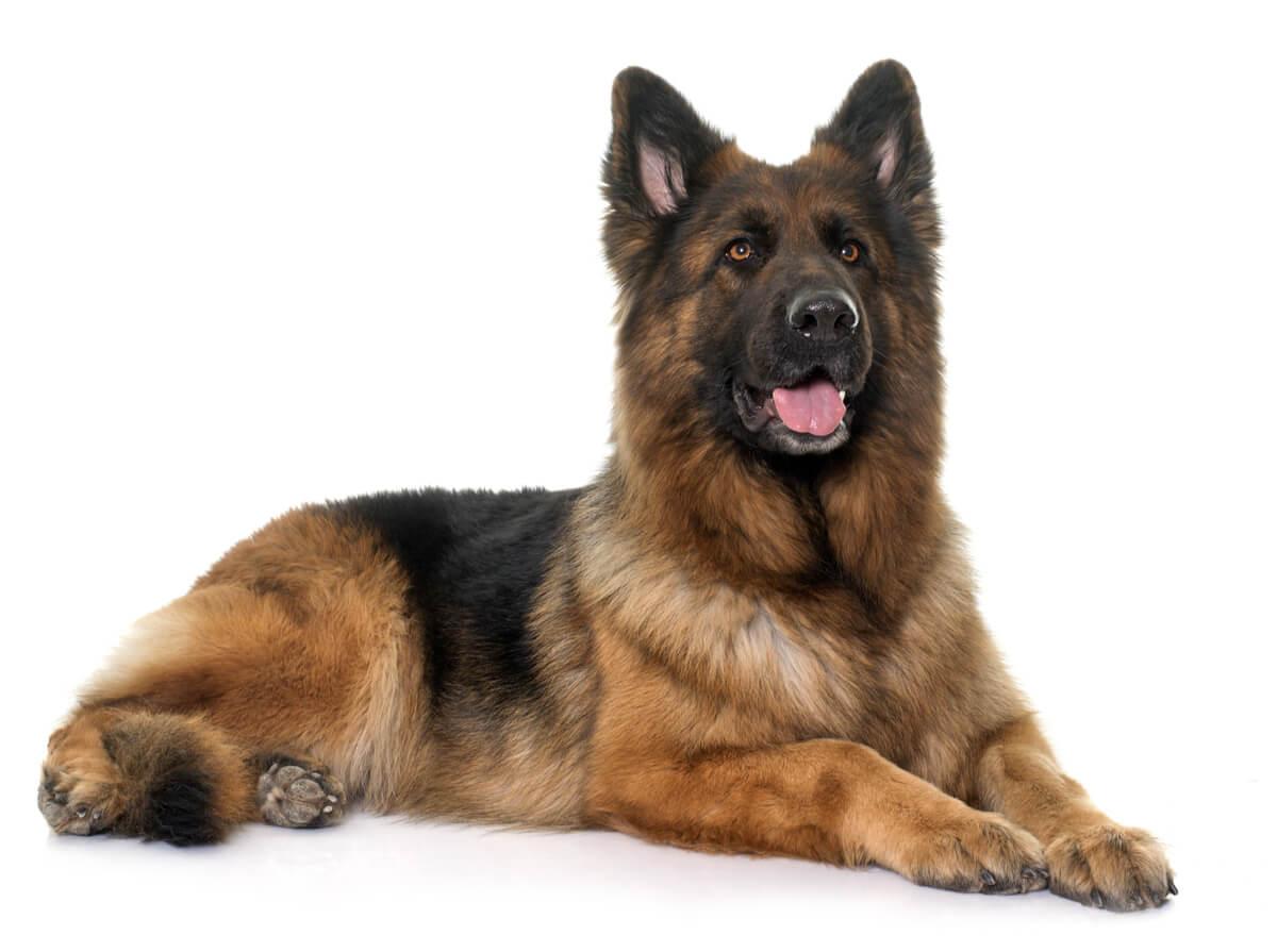 El pastor alemán es una de las razas de perros más fáciles de adiestrar.