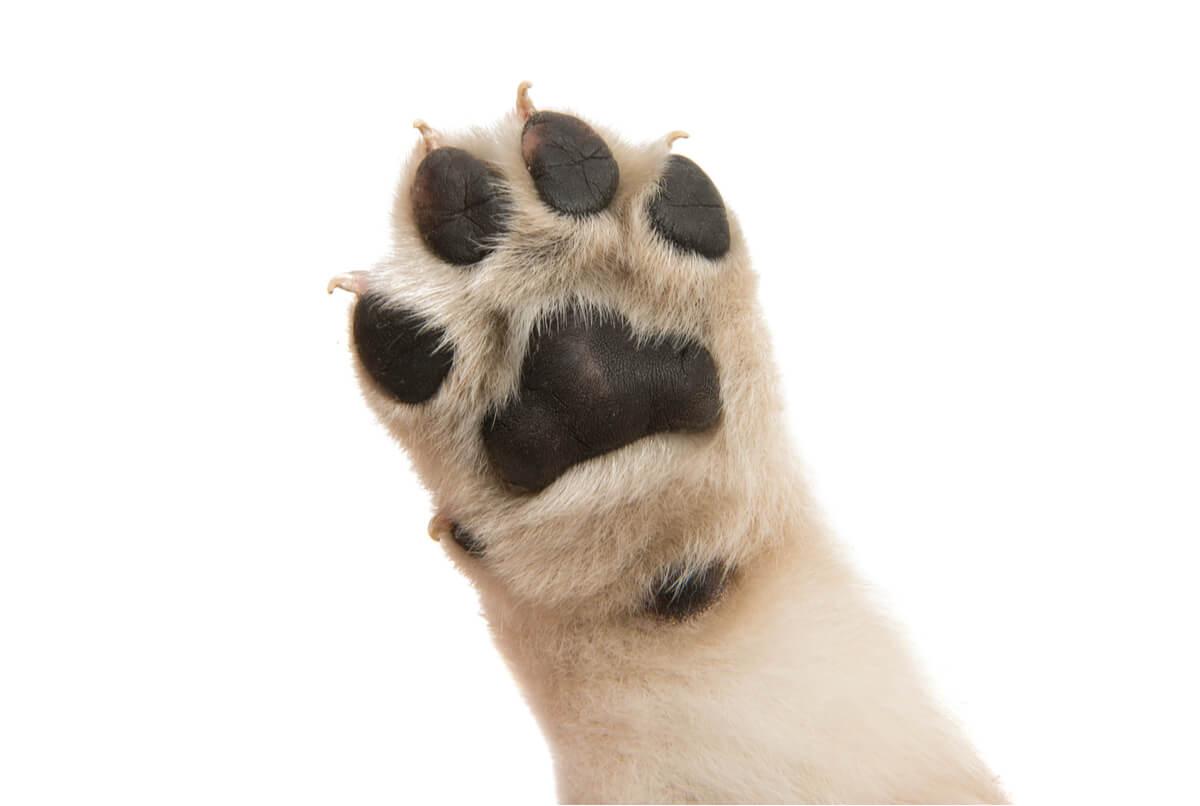Les pattes de chien sentent mauvais lorsqu'elles sont infectées.