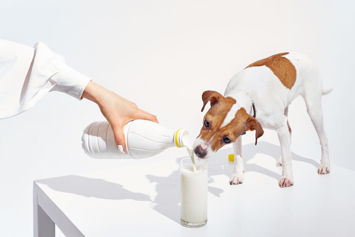 ¿Los perros pueden beber leche?
