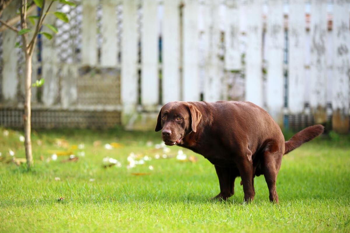 Evitar el estreñimiento en perros es sencillo.