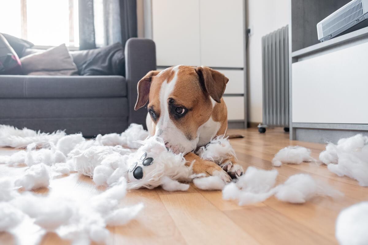 Romper cosas es uno de los comportamientos anormales en perros.
