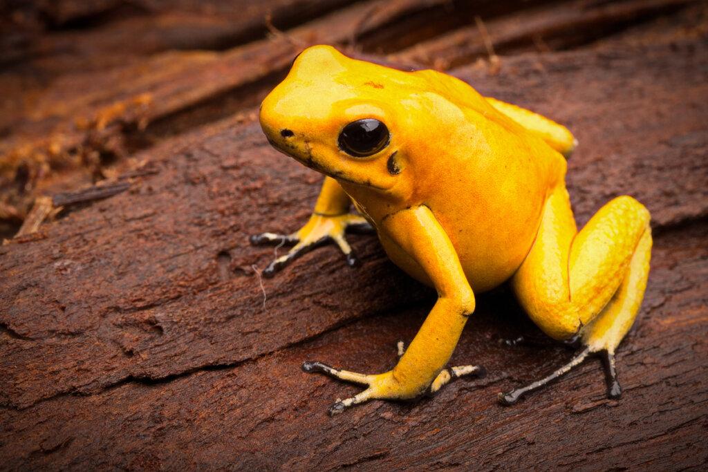 La rana más peligrosa del mundo (Phyllobates terribilis)