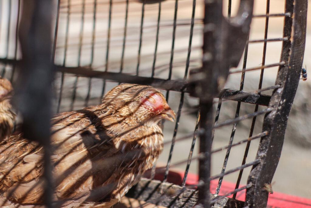 Coriza infecciosa en aves: todo lo que debes saber