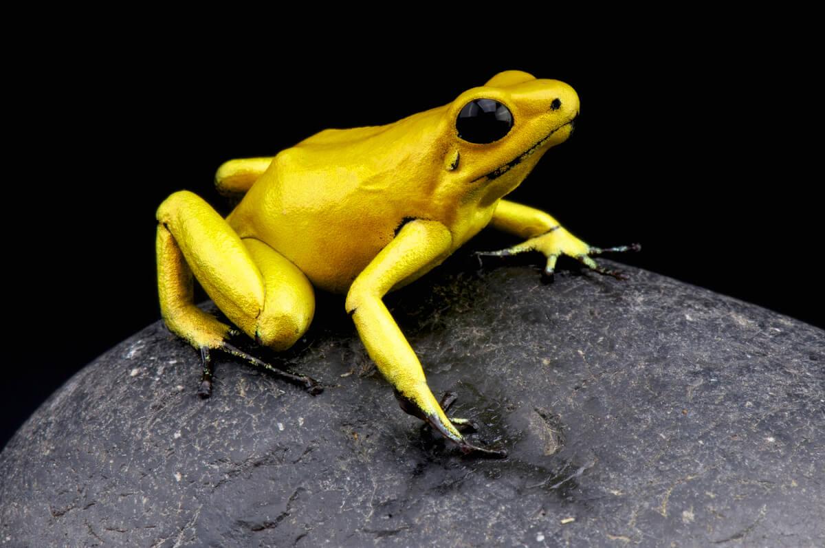 Una rana amarilla sobre un fondo negro.
