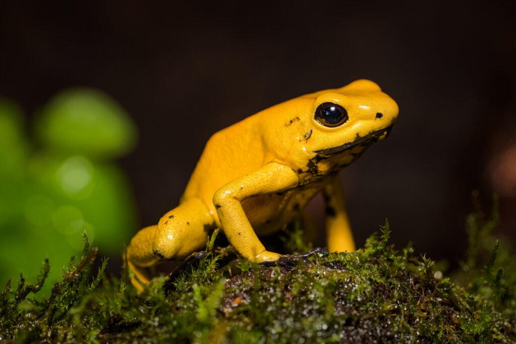 Anfibios en mayor peligro de extinción