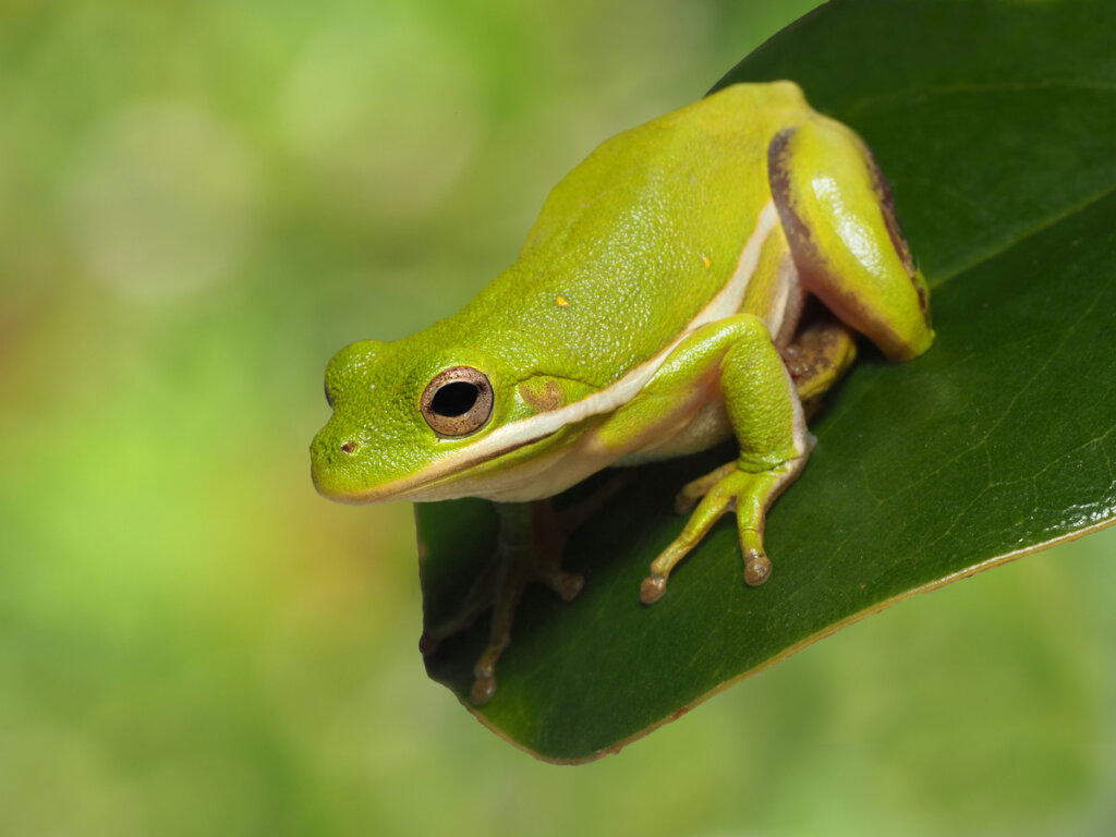 10 curiosidades de las ranas