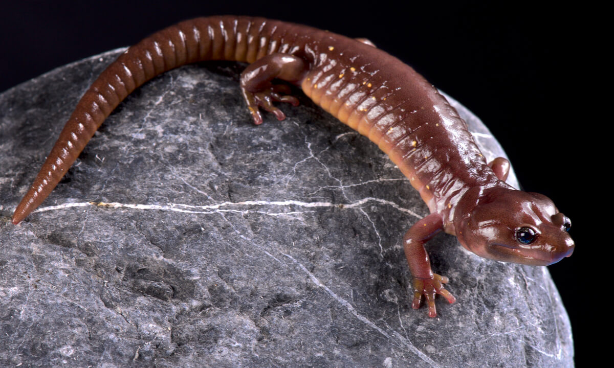 Uno de los anfibios en mayor peligro de extinción.