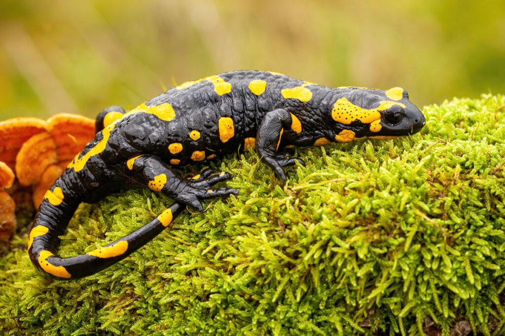 Las salamandras no son seres maléficos