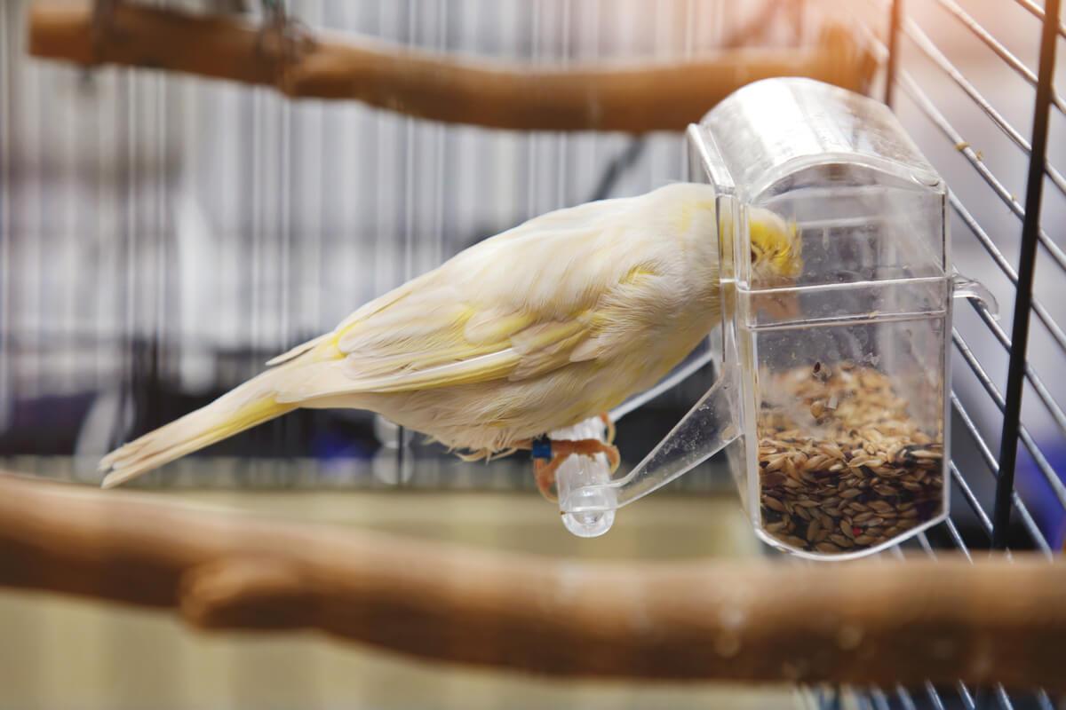 Semillas de girasol para las aves.