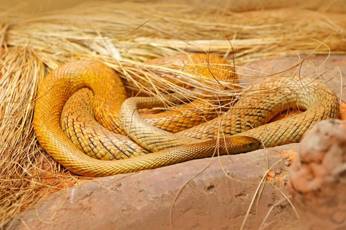 Una serpiente amarilla enroscada.