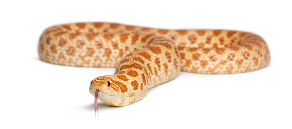 Una serpiente hocico de cerdo albina.