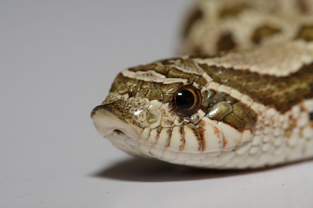 La cara de una serpiente hocico de cerdo.
