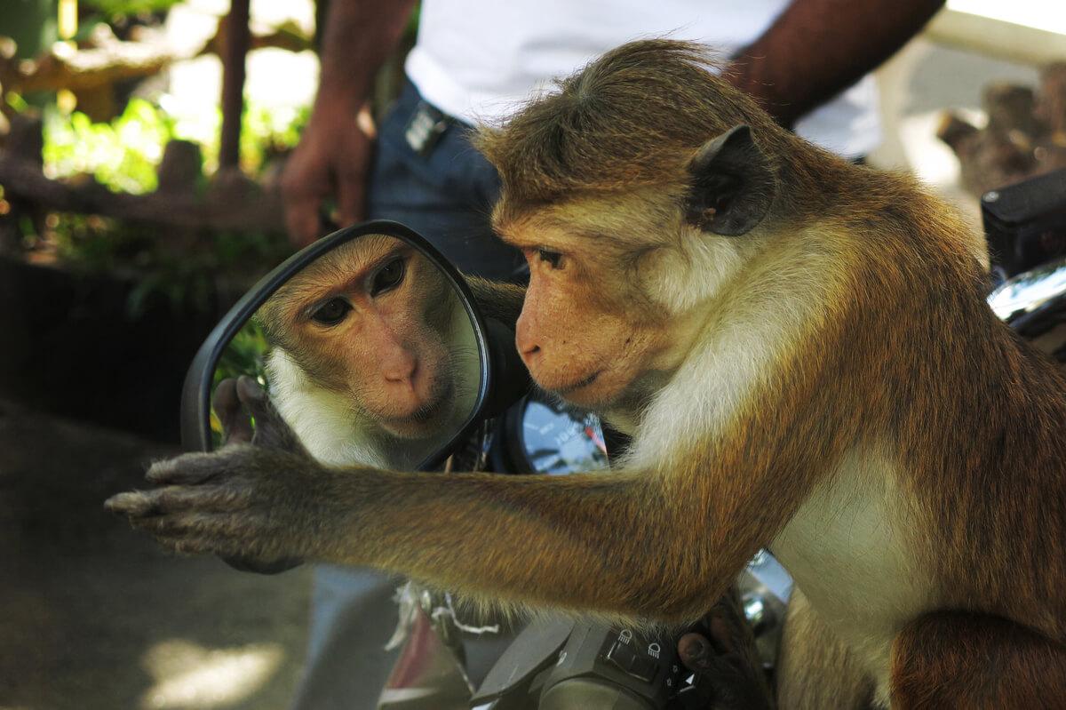 Una de las curiosidades de los simios es que son autoconscientes.