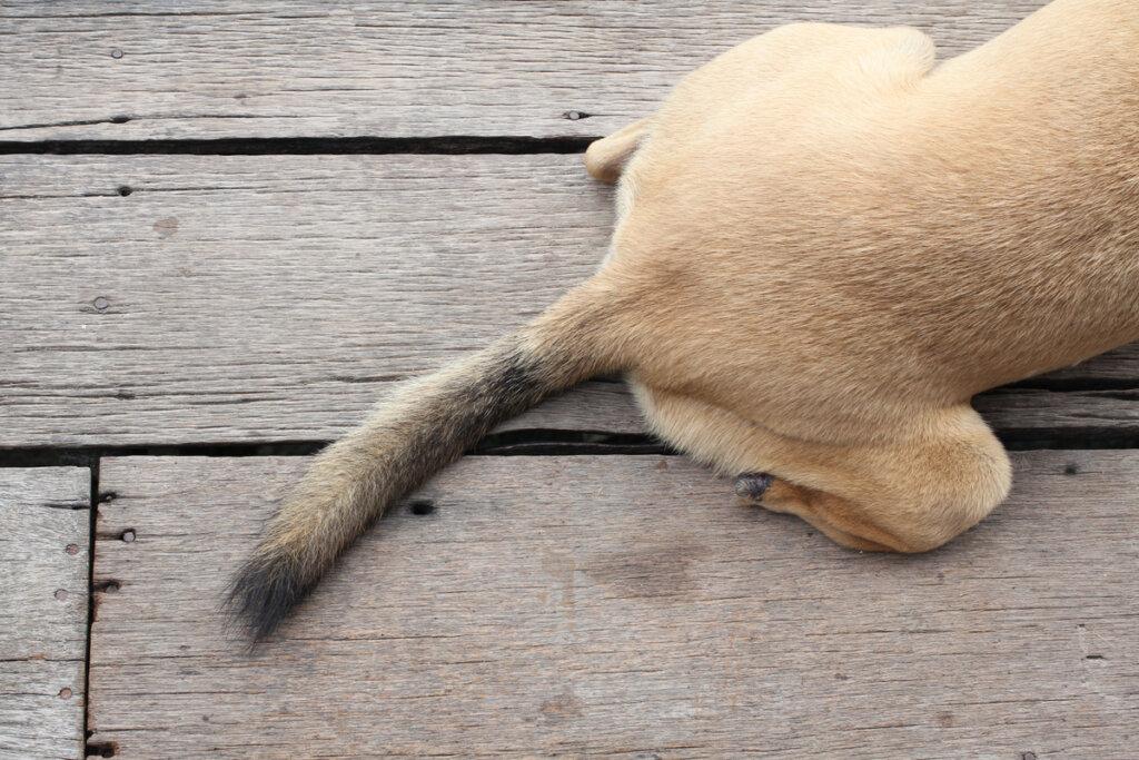 Síndrome de la cola fría en perros: todo lo que debes saber