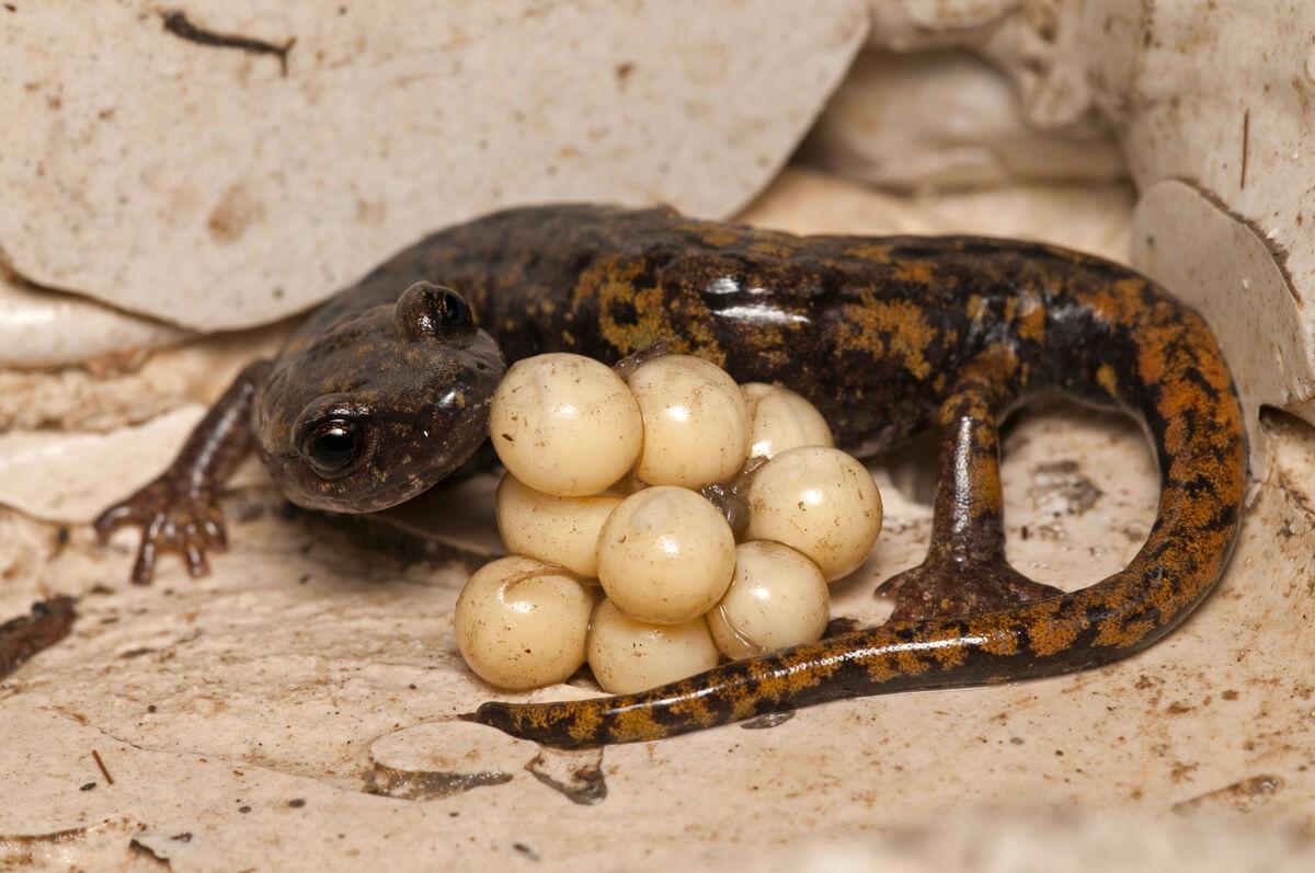 Las salamandras sin pulmones.