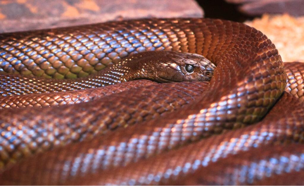 Taipán del interior: la serpiente más venenosa del mundo (Oxyuranus microlepidotus)