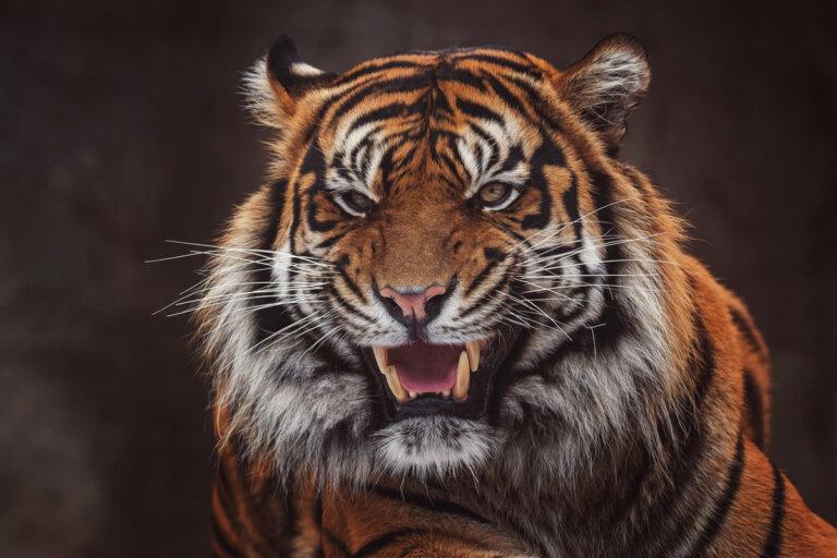 Características del tigre de Sumatra