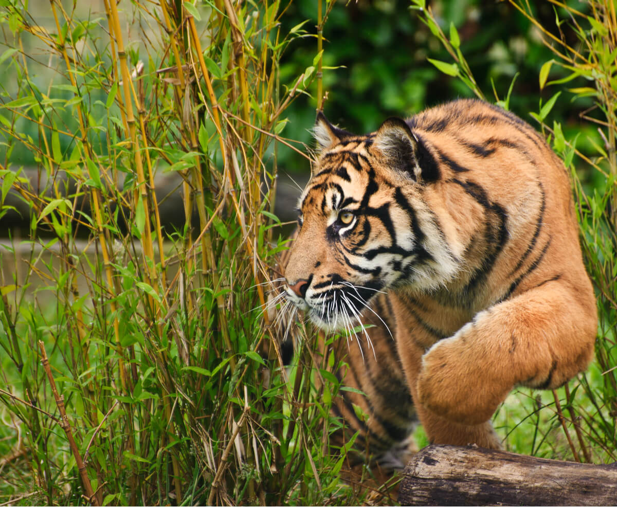 Un tigre de Sumatra escondido.