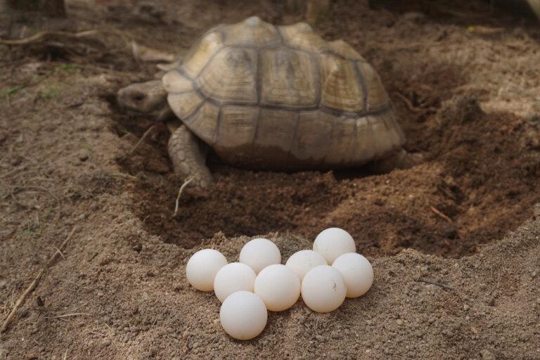 Distocia en reptiles: causas, síntomas y tratamiento