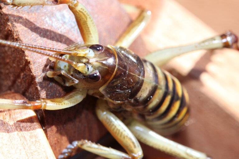 ¿Cuál es el insecto más grande del mundo?