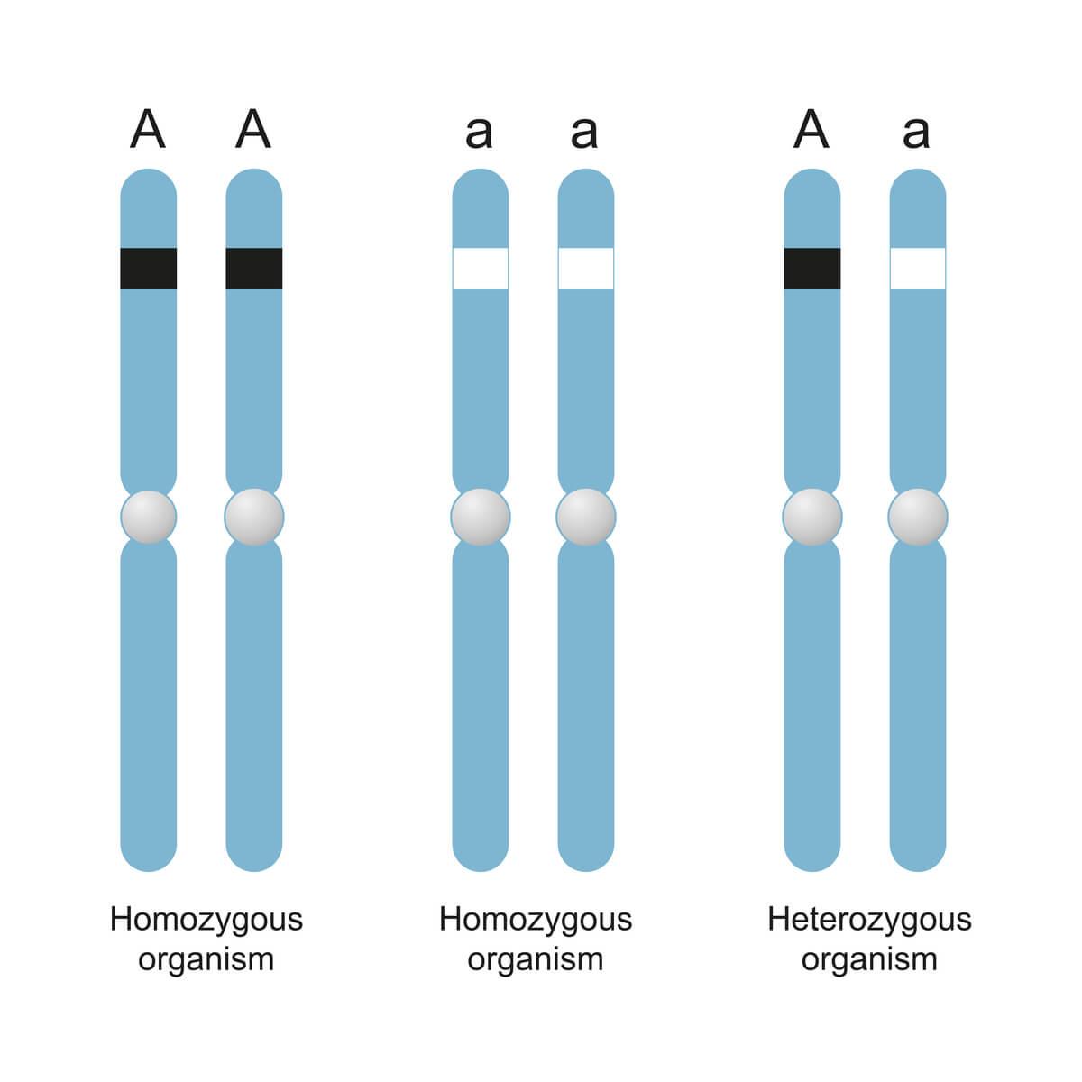 Homocigosidad y heterocigosidad ejemplificadas.