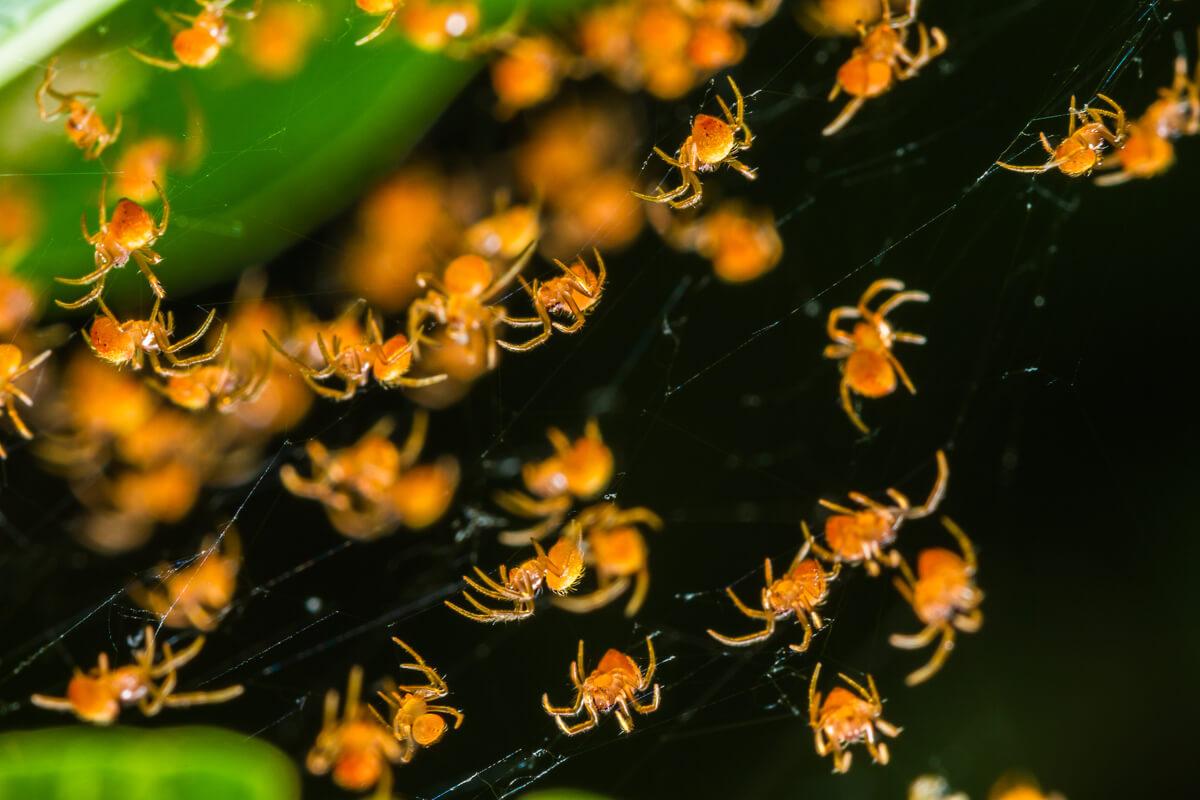 Um grupo de aranhas tecelãs.