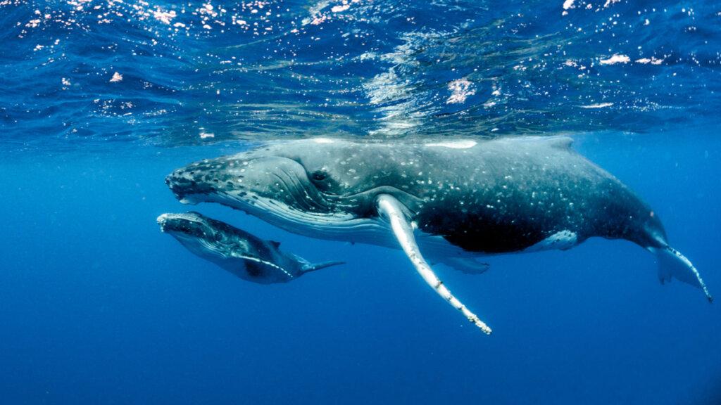 ¿Cómo nacen las ballenas y cómo es su reproducción?
