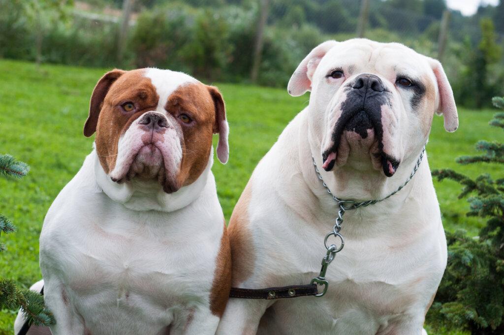 ¿Cuáles son los cuidados de un bulldog americano?