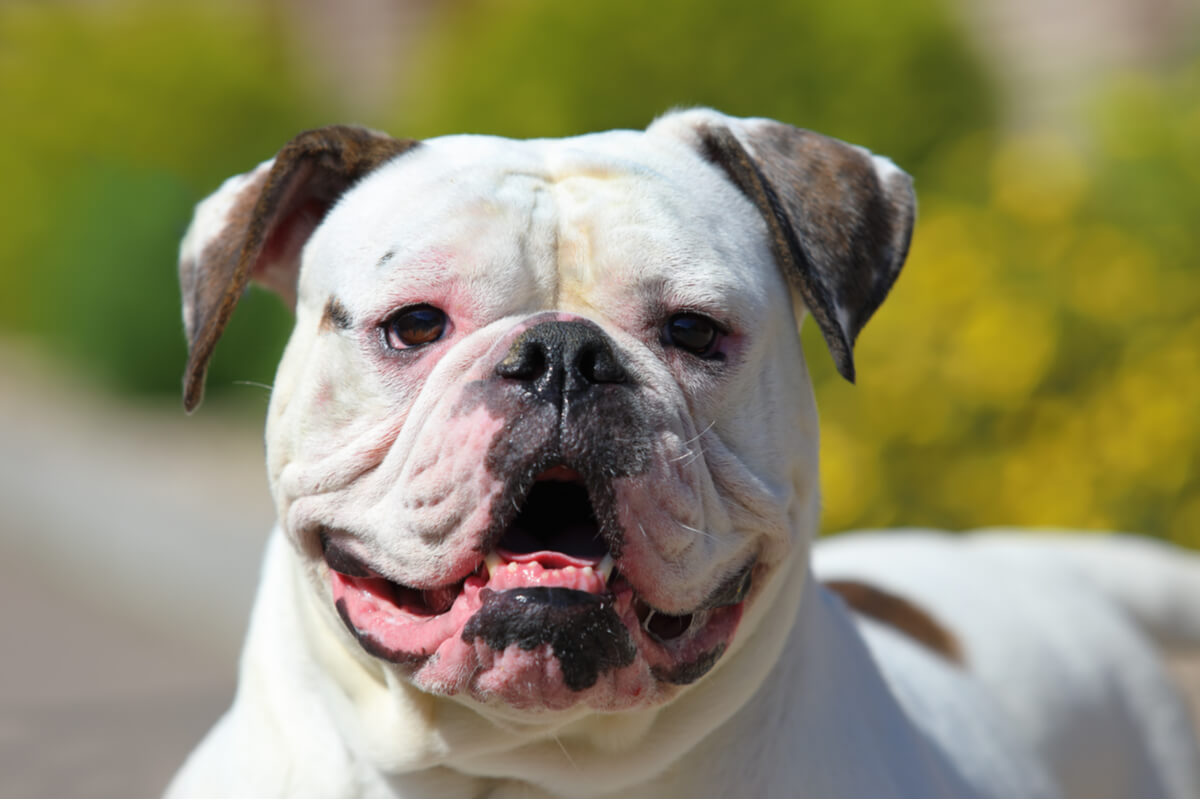 Un bulldog americano sonríe.