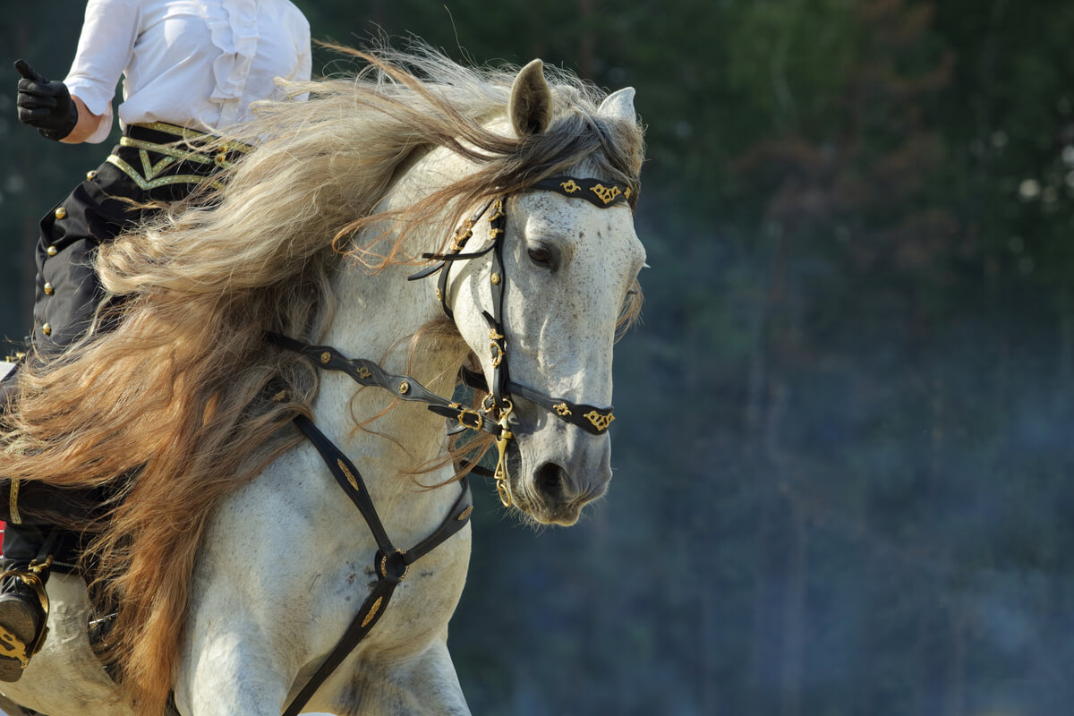 Un caballo andaluz blanco.