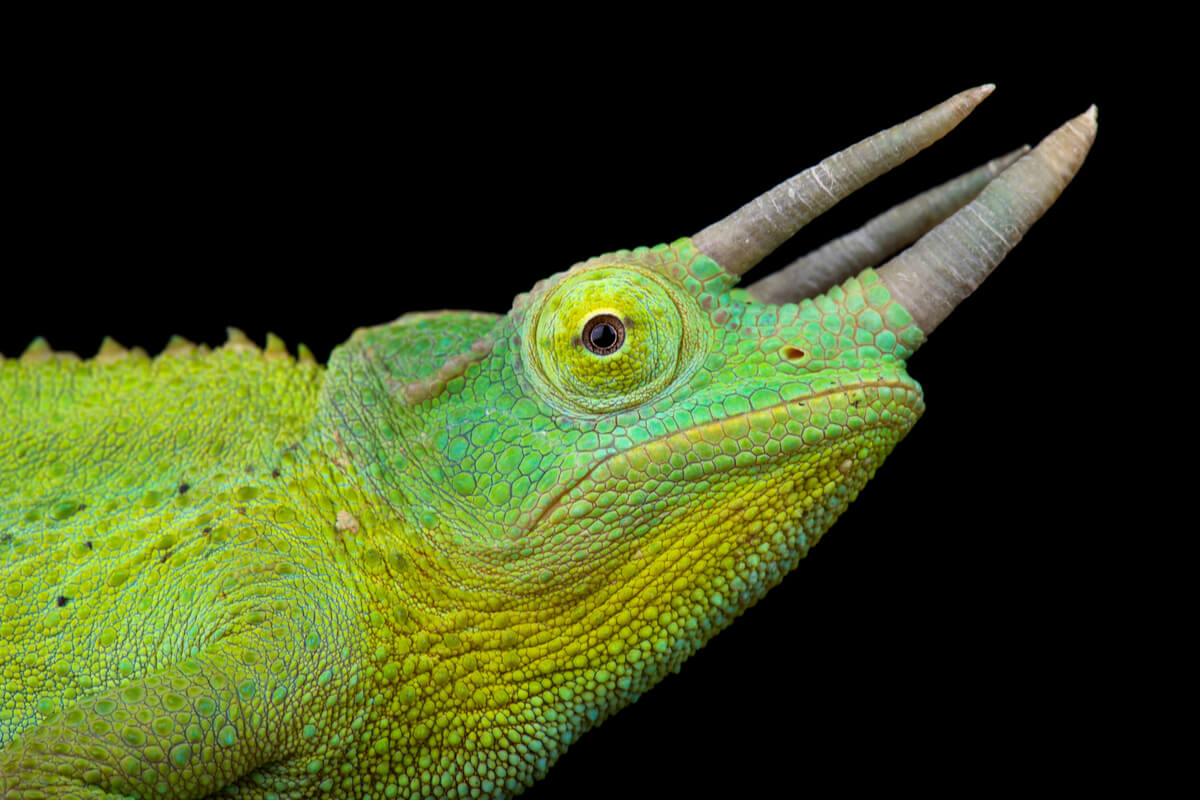 Une des espèces de caméléons.