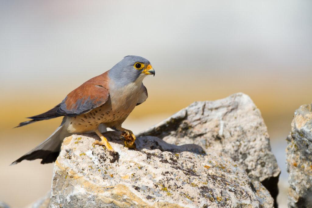 El cernícalo primilla: el más pequeño de los halcones