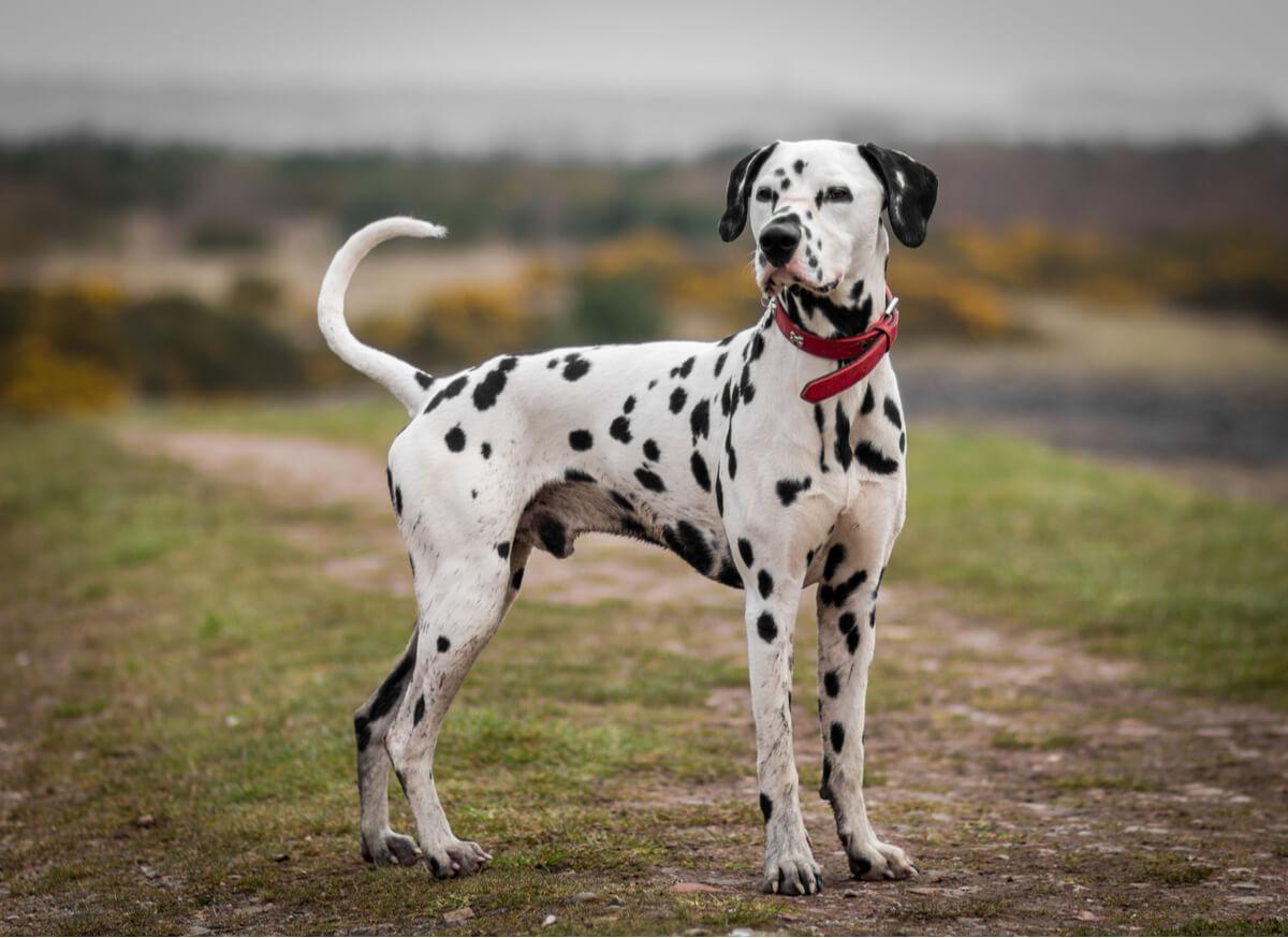 A Dalmatian staring at the camera.