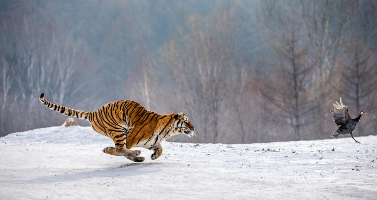 Un depredador y su presa en la nieve.