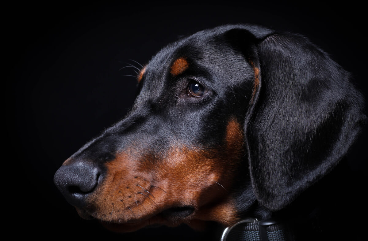 5 diferencias entre el dóberman y el rottweiler