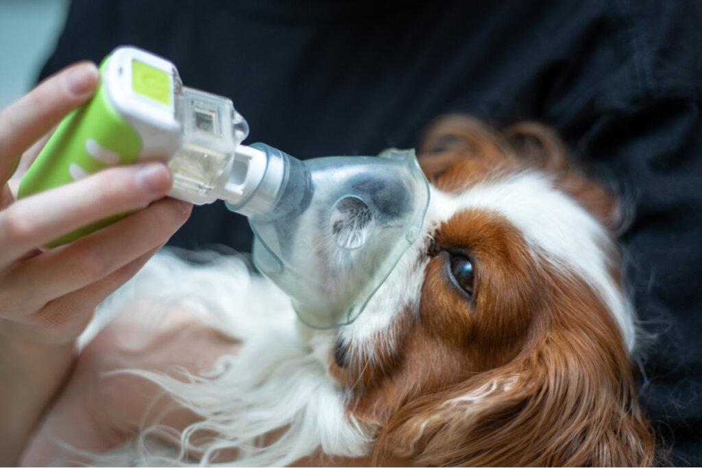 ¿Cómo tratar el edema pulmonar en perros?