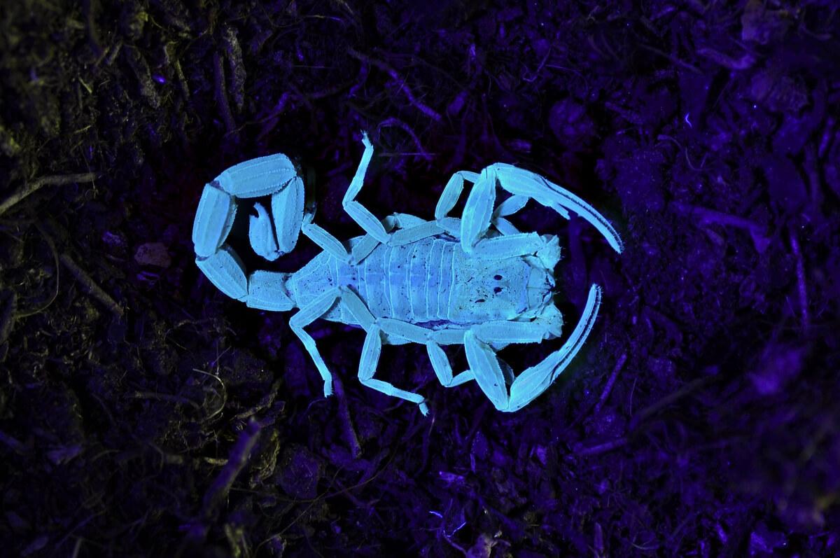 Una de las curiosidades de los escorpiones es que brillan en la oscuridad.