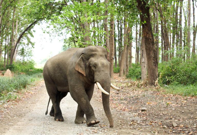 Tipos y características de los elefantes asiáticos