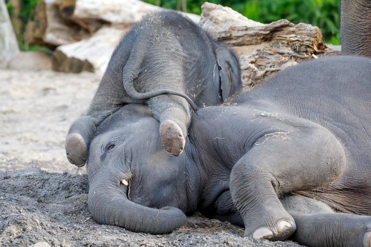 Una madre de elefante asiático con su hijo.