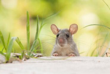 ¿Cuántas especies de roedores existen?