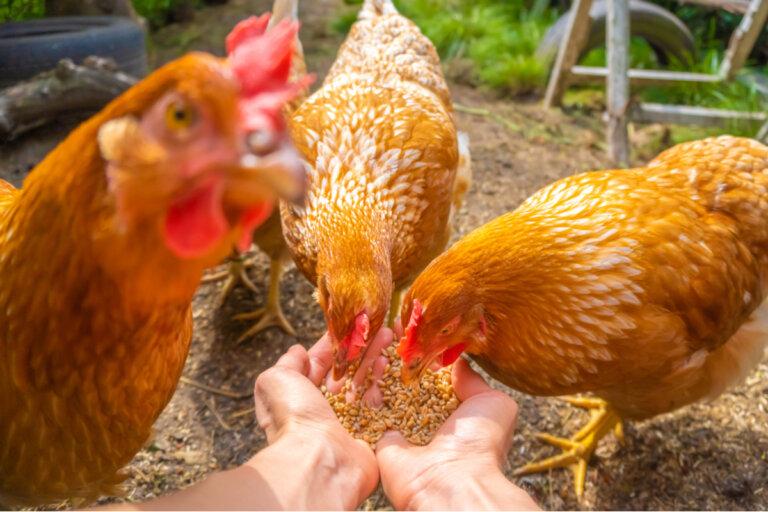 Comportamiento de las gallinas