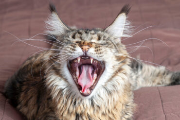 ¿Cuáles son las consecuencias de la desungulación en gatos?