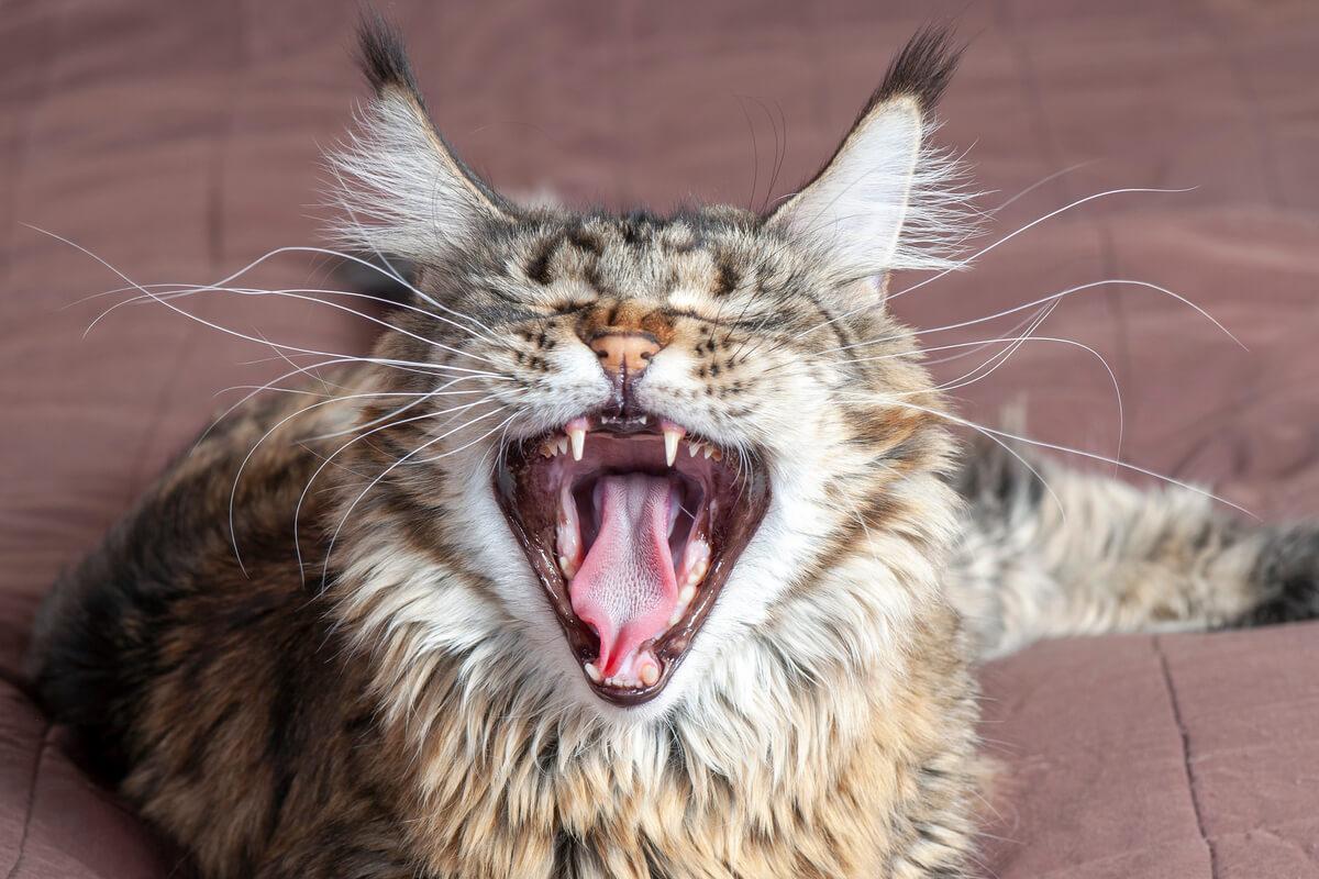 Een luid miauwende kat