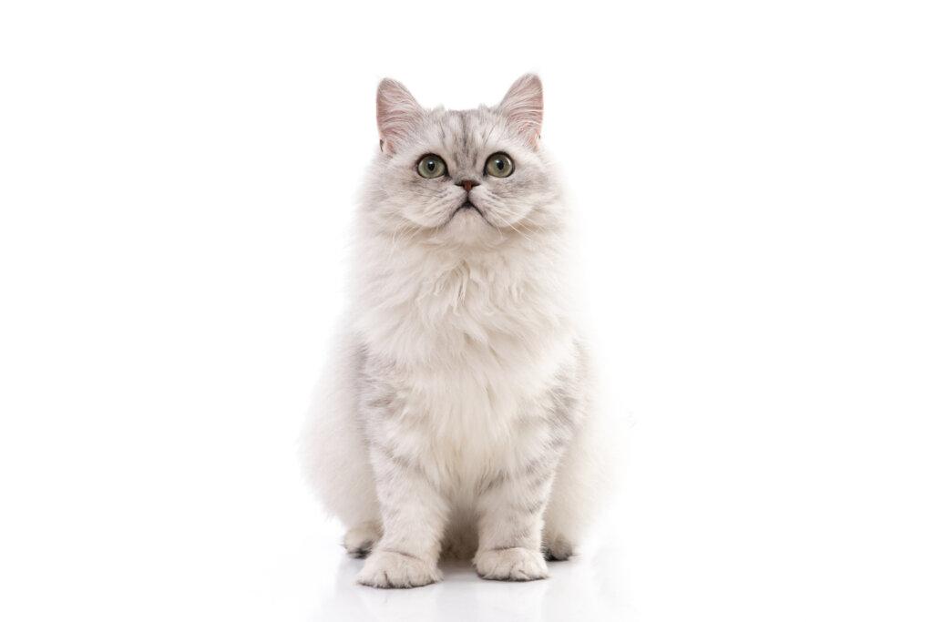 4 cuidados del gato persa chinchilla