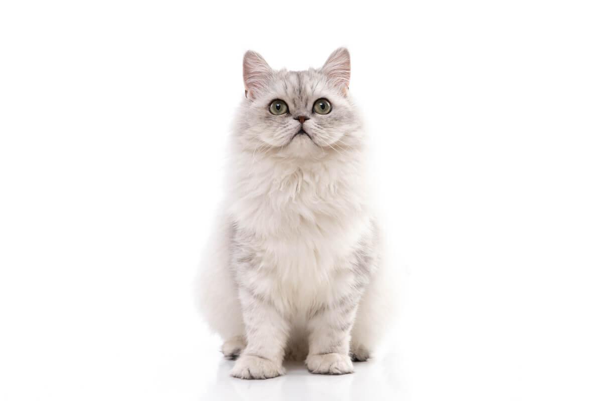 Les soins du chat persan chinchilla sont nombreux.
