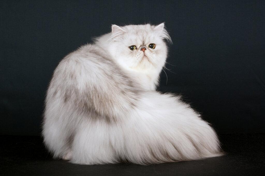 ¿Cuál es la historia del gato persa?