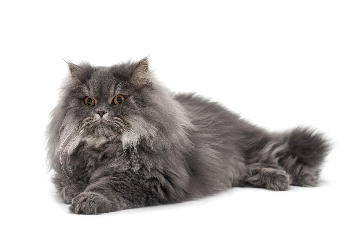 Un gato persa sobre un fondo blanco.